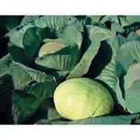Семена капусты белокочанной среднепоздней Агрессор F1, Syngenta, 2500 семян