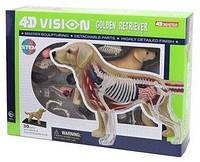 4D Master Объемная анатомическая модель 4D Master Собака золотистый ретривер FM-622007