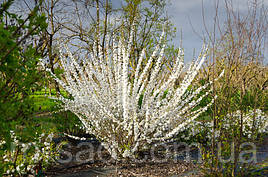 Саджанці мигдалю Білого Вітрила (дивовижної краси рослина)
