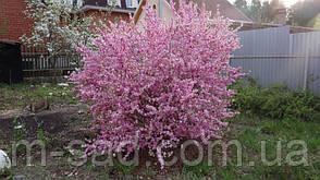 """Мигдаль цвіте рожевий""""Луїзіанія Трилопатева"""", фото 3"""