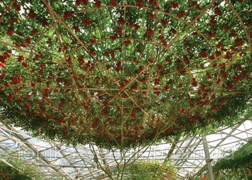 Семена Перец-Дерево