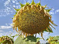 Семена подсолнечника НС СУМО 007 (Евросем) Под Гранстар
