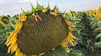Семена подсолнечника Тор 7+ (ЕвроСем) Под Гранстар