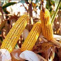 Насіння кукурудзи Орилскай (Евросем) ФАО 320