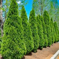 Вічнозелена Туя Смарагд Н - 1,4-1,6 м