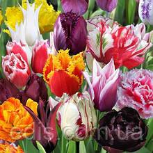 Колекція тюльпанів 25 сортів 50 цибулин/уп.