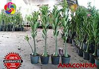 АДЕНИУМ Анаконда сомалийский  (семена 3шт смесь)