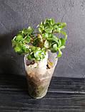 Адениум мини  (взрослое растение), фото 3