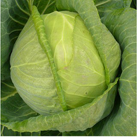 Килагерб F1 - семена белокочанной капусты 2 500 семян, Syngenta