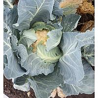 Клаптон F1 - семена белокочанной капусты 2 500 семян, Syngenta