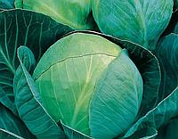 Глория F1 - семена белокочанной капусты 2 500 семян, Syngenta