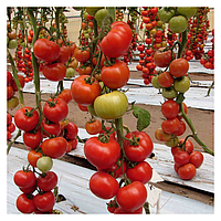 БЕЛЛЕ F1 -насіння томата індетермінантного 500 семян, Enza Zaden
