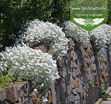 Cerastium tomentosum 'Silberteppich', Ясколка повстяна 'Зільбертеппіх',C2 - горщик 2л