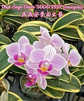 Орхідея підліток, сорт Sogo Vivien variegata - горщик 1.7, без кольорів, фото 1
