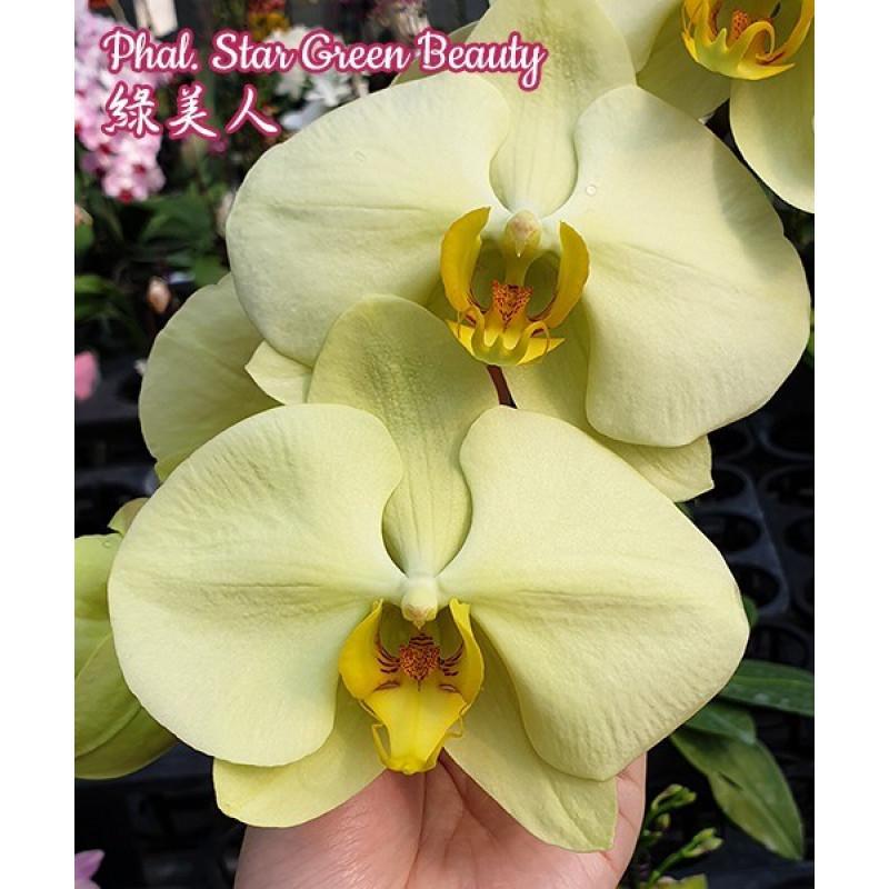 Уценка, царапина листа Oрхидея, сорт Green star- горшок 2.5, без цветов