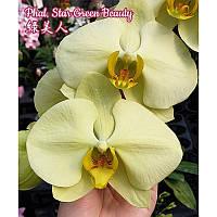 Уценка, царапина листа Oрхидея, сорт Green star- горшок 2.5, без цветов, фото 1