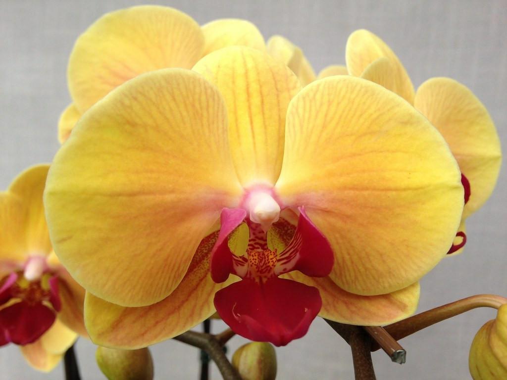 """Орхидея, горшок 2.5"""", без цветов. Сорт Golden beauty"""