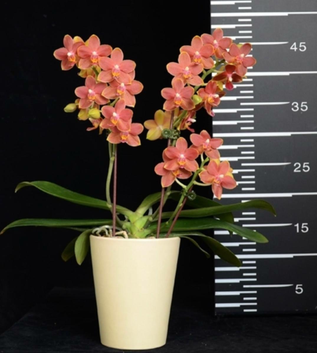 """Орхидея подросток GW737, горшок 1.7"""" без цветов"""