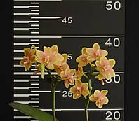 """Орхідея підліток GW738, горщик 1.7"""" без квітів"""