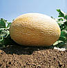 АМАЛ F1 - семена дыни, 1 000 семян, CLAUSE