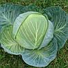 ЦЕНТУРИОН F1  - семена капусты белокочанной, 2 500 семян, CLAUSE