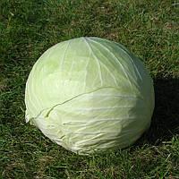 КАПОРАЛ F1  - семена капусты белокочанной, 1 000 семян, CLAUSE