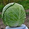 ГОДВАРИ F1 - семена капусты белокочанной, 1 000 семян, CLAUSE