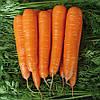 МАТЧ F1 - семена моркови,  25 000 семян, CLAUSE