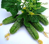 РЕГАЛ F1 - семена огурца, 10 грамм, CLAUSE, фото 1