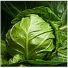 ВЕРОНОР F1 - семена белокочанной капусты, 2 500 семян, Syngenta