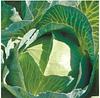 ЗЕЛОНОР F1 - семена белокочанной капусты, 2 500 семян, Syngenta