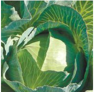 ЗЕЛОНОР F1 - семена белокочанной капусты, 2 500 семян, Syngenta, фото 1