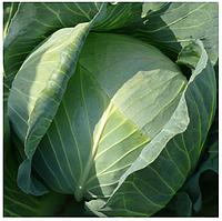 ЛИБЕРАТОР F1 - семена белокочанной капусты, 2 500 семян, Syngenta, фото 1