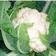 ЛИВИНГСТОН F1 - семена цветной капусты, 2 500 семян, Syngenta, фото 1