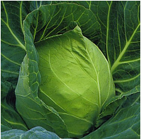 ПРУКТОР F1 - семена белокочанной капусты, 2 500 семян, Syngenta, фото 1
