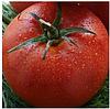 ЦАРИН F1 - семена томата индетерминантного, 500 семян, Syngenta