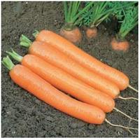ДОРДОНЬ F1 - семена моркови (1,6+), 50 000 семян, Syngenta, фото 1