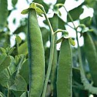 ГРУНДИ - семена гороха овощного, 100 000 семян, Syngenta
