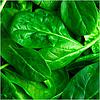 ЕЛЬ ФОРТЕ - семена шпината, 100 000 семян, Syngenta