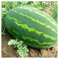 ЛЕДІ F1 - насіння кавуна тип Крімсон Світ, 1 000 насінин,Syngenta, фото 1