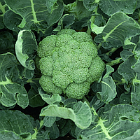 БАТАВИЯ F1 - семена капусты брокколи, 2 500 семян, Bejo Zaden, фото 1