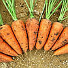 РЕД КОР - семена моркови Шантане,1 000 грамм, Bayer