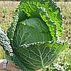 МЕЛИССА F1 - семена капусты савойской, 2 500 семян, Bejo Zaden