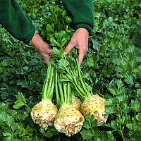 БАЛЕНА - семена сельдерея корневого, 10 000 семян, Bejo Zaden