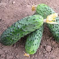БАРВИНА F1 - семена огурца партенокарпического, 500 семян, Bayer, фото 1