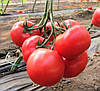 НЕЙРОН F1 - семена томата индетерминантного розового, 500 семян, Bayer