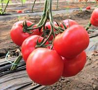 НЕЙРОН F1 - семена томата индетерминантного розового, 500 семян, Bayer, фото 1