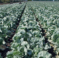 АНКОМА F1 - семена капусты белокочанной калиброванные, 1 000 семян, Rijk Zwaan