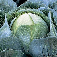 КАЛОРАМА F1 - семена капусты белокочанной, 1 000 семян, Rijk Zwaan, фото 1