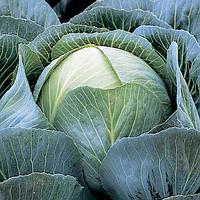 КАЛОРАМА F1 - семена капусты белокочанной калиброванные, 1 000 семян, Rijk Zwaan, фото 1
